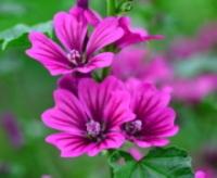 「母の愛」が花言葉のゼニアオイ