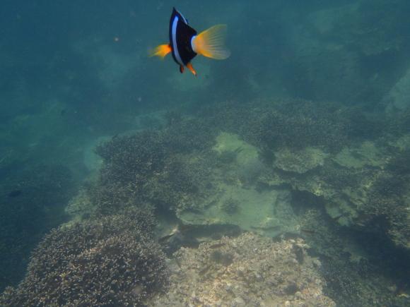 シュノーケリング中に出会ったニモみたいな魚