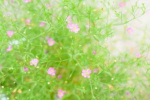 「切なる願い」が花言葉のピンクのカスミソウの画像