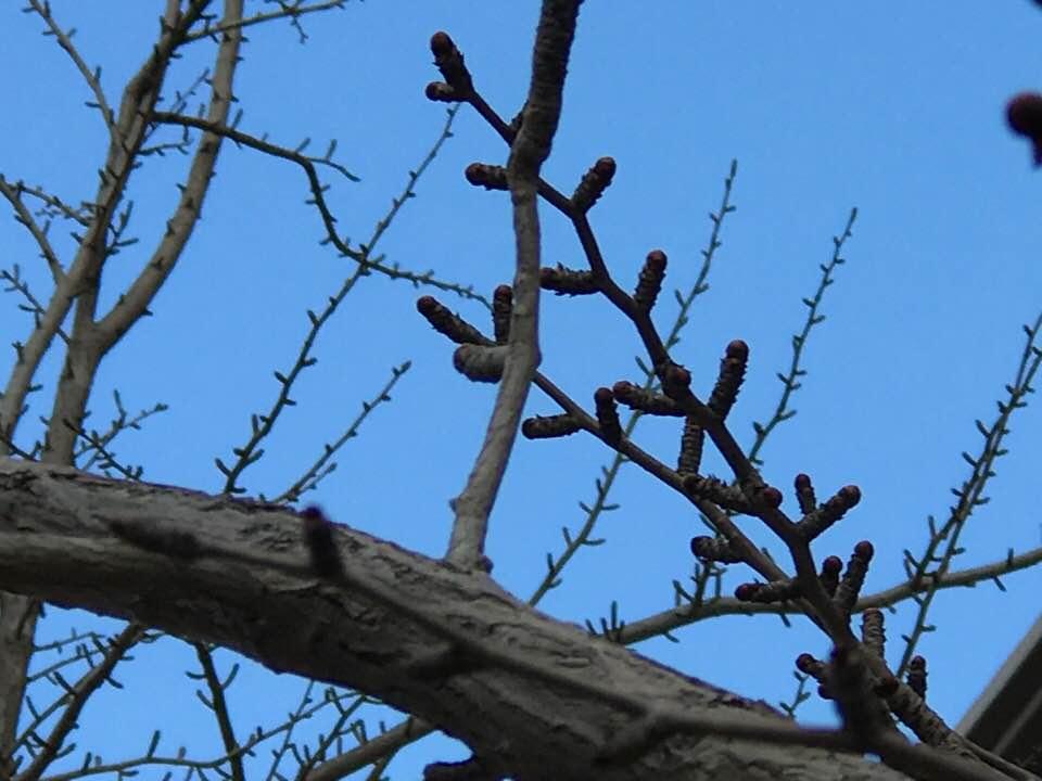 枝先には葉のつぼみがいっぱいついているイチョウの木の画像