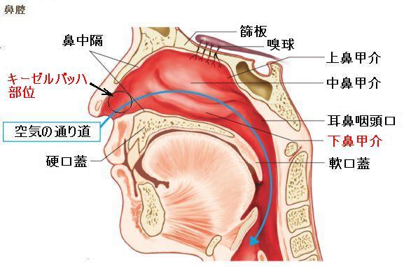 鼻の解剖図
