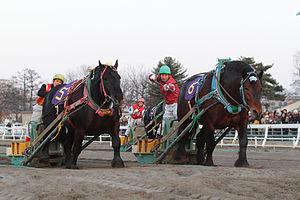 愛らしいばんえい馬によるばんえい競馬のレースの様子