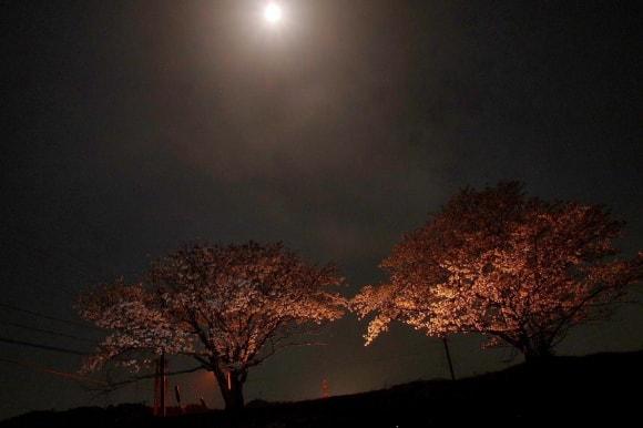 マルチストロボ撮影による夜桜の写真