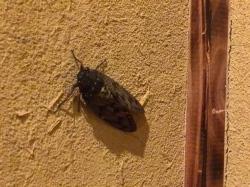 壁にとまって鳴くセミ