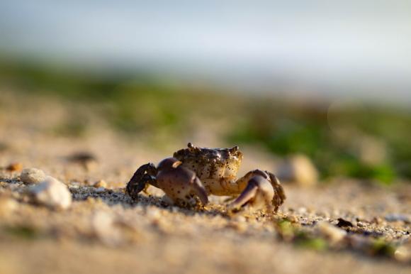 どこにでもいる蟹の写真。