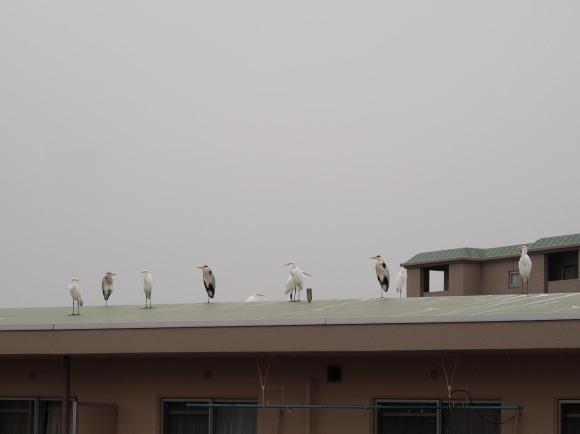 サギの群れの写真