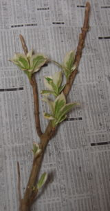 花展での展示を終えて一日後に撮影した芽出しアジサイの写真