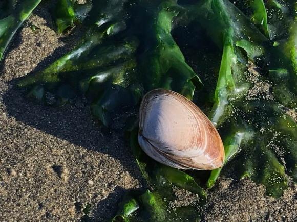 浜辺にハマグリが落ちている画像。