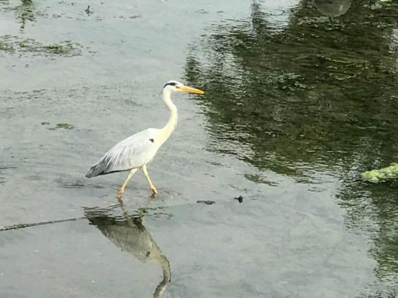 川上に降り立ったサギBさんの写真
