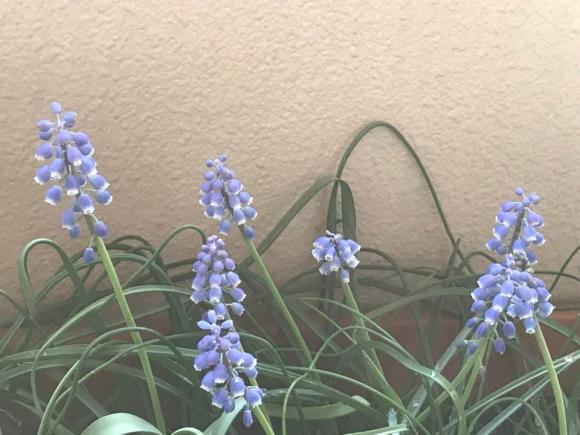 ベランダ園芸におすすめのムスカリの花の画像