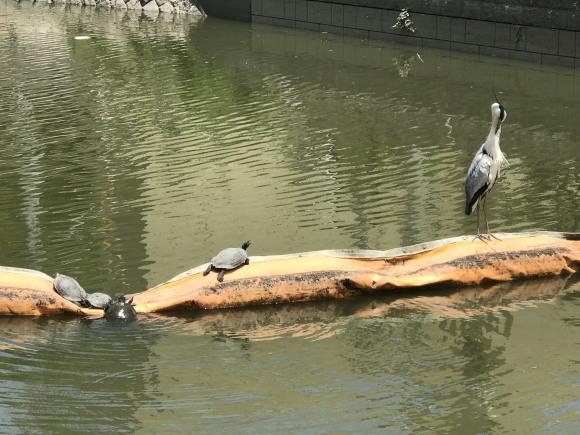 まるで『鶴と亀』の『サギと亀』の写真
